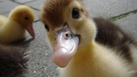 duckling-4.jpg